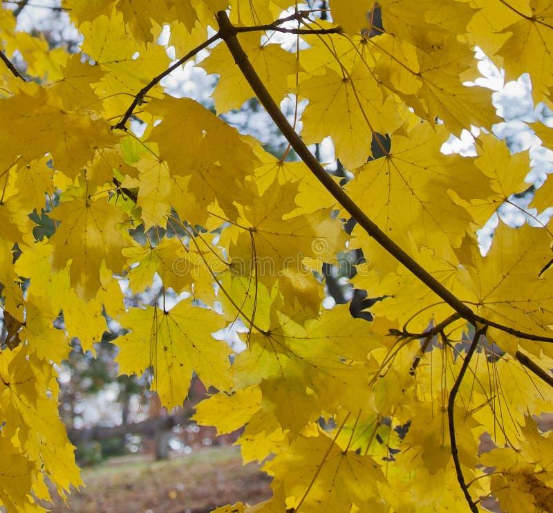 Ortensie Foglie Gialle : Arco delle foglie gialle dell acero riccio immagine stock
