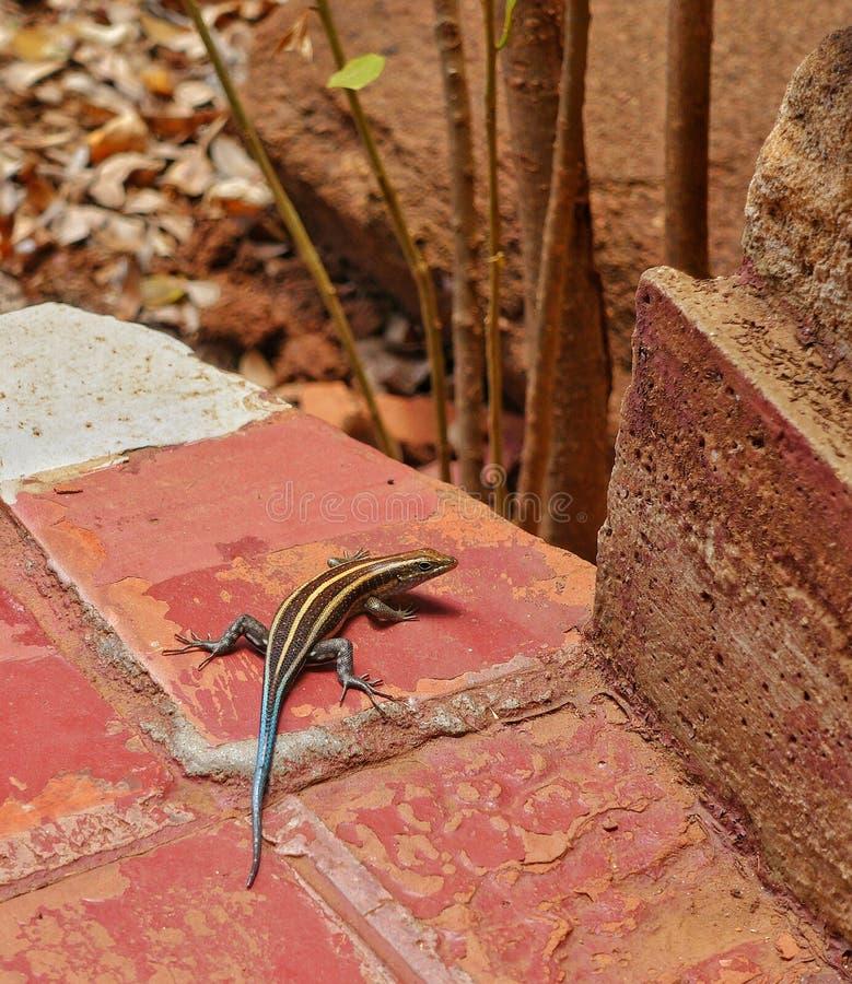 Arco iris Skink foto de archivo libre de regalías
