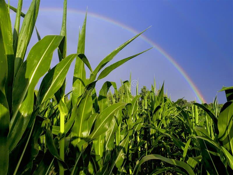 Arco iris sobre la tierra del maíz foto de archivo libre de regalías