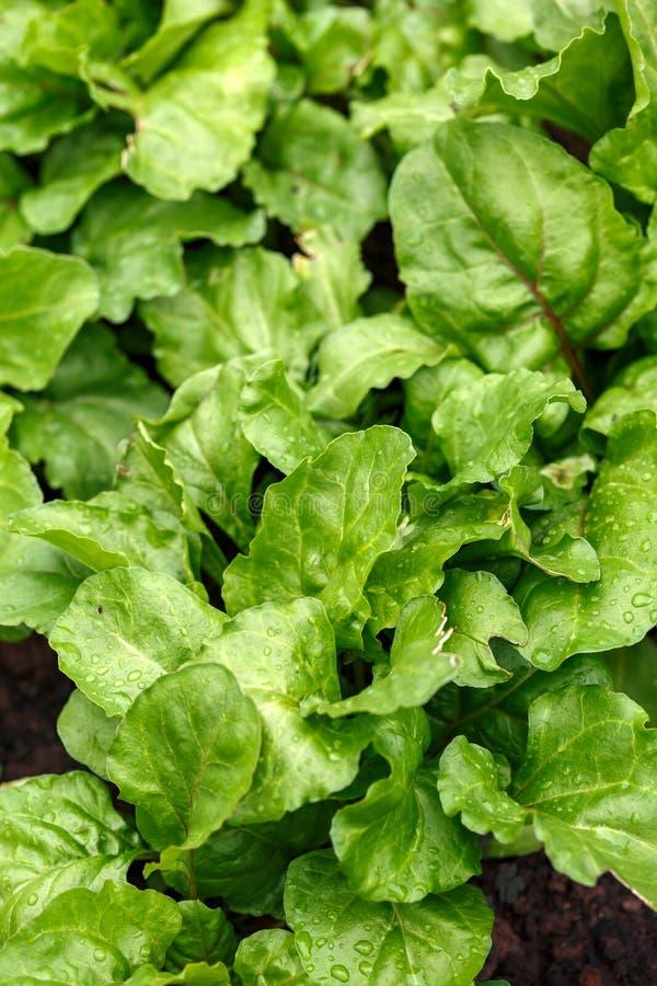 Arcobaleno italiano organico nazionale Beetroot Barbabietola di Chioggia in orto domestico di verdure fotografia stock libera da diritti