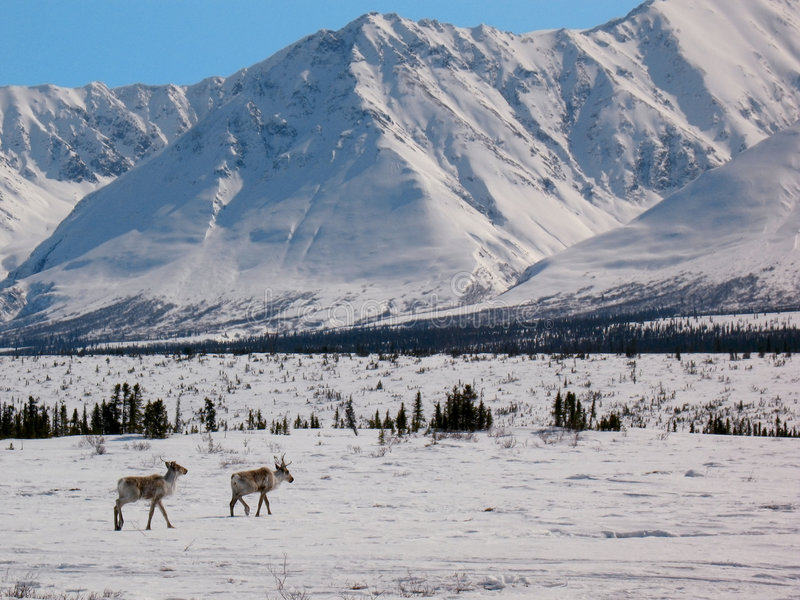 Arctic Caribou in the Alaska Range (Broad Pass) royalty free stock photography