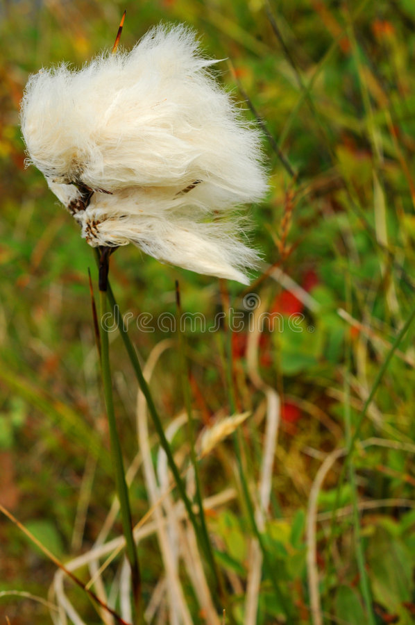 Arctic cotton tuft royalty free stock images