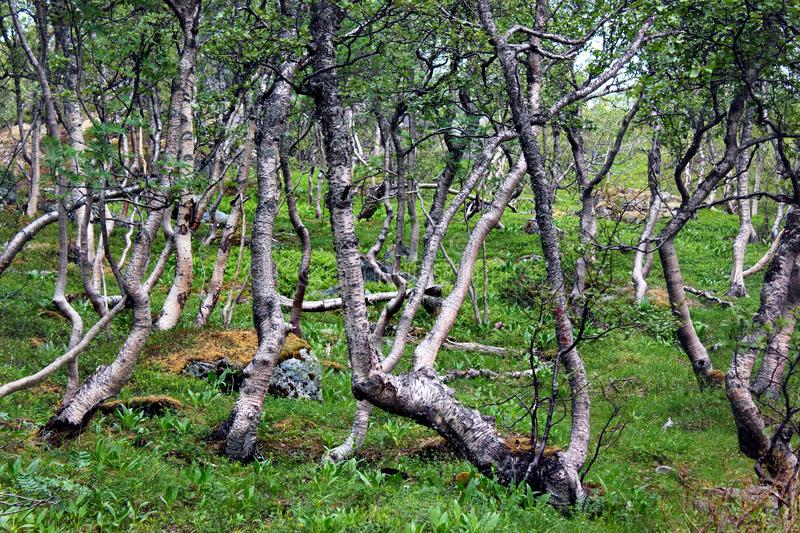 Arctic forest of gnarled dwarf birches and fern, Norway stock image
