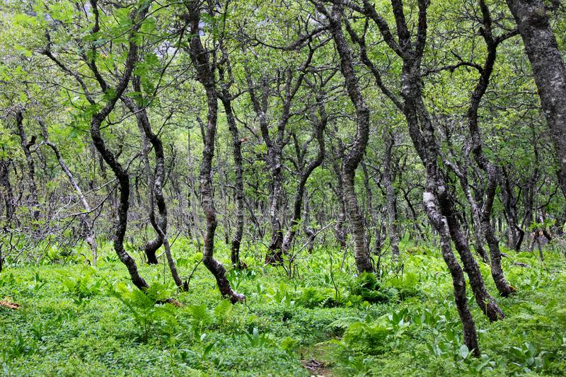 Arctic forest of gnarled dwarf birches and fern, Southern Norway stock image