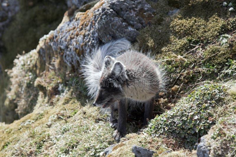 Download Arctic fox stock image. Image of wildlife, nature, svalbard - 14476047
