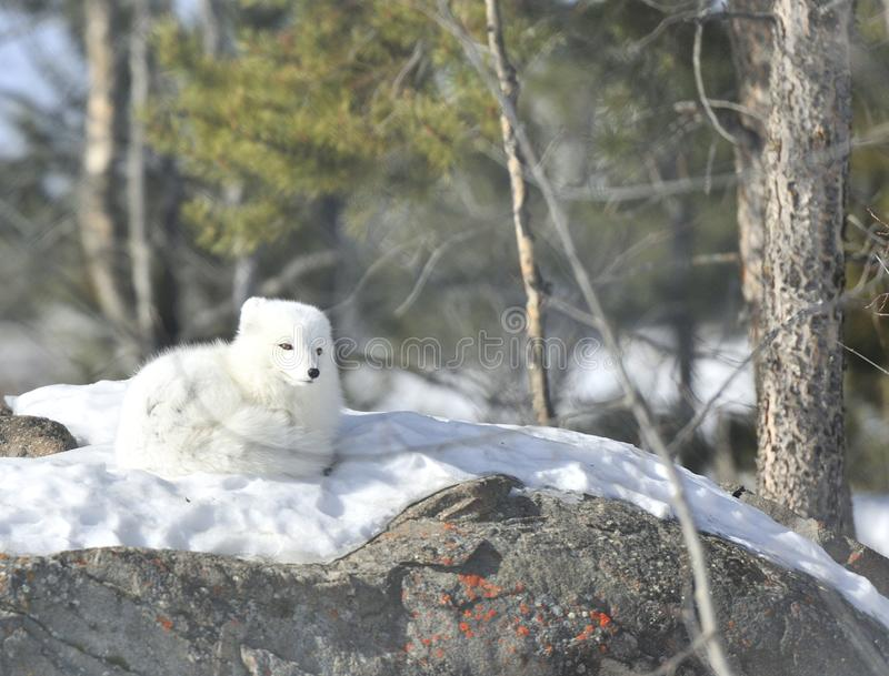 Arctic fox. Rare pure white arctic fox royalty free stock photography