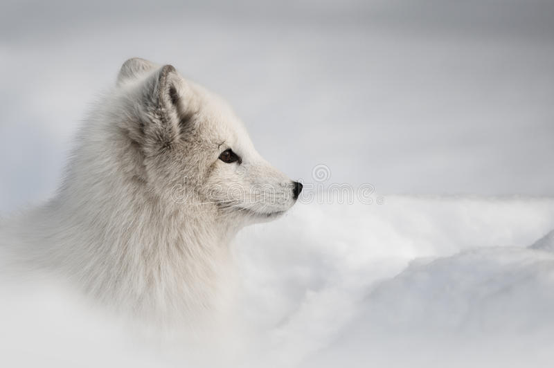Download Arctic Fox stock image. Image of alaska, carnivore, snow - 25237109