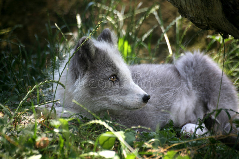 Download Arctic fox stock image. Image of portrait, hunting, collar - 2585619