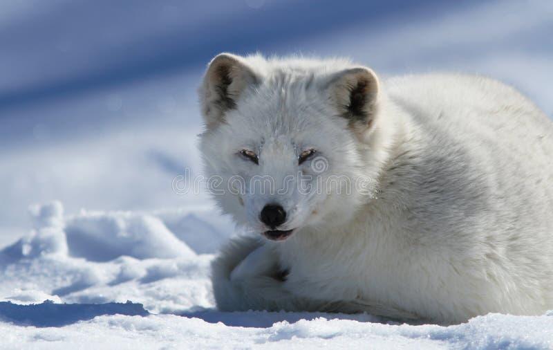 Download Arctic Fox Royalty Free Stock Photos - Image: 26625858