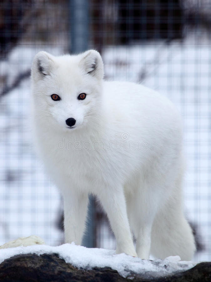 Download Arctic fox stock image. Image of travel, mobile, arctic - 28054921