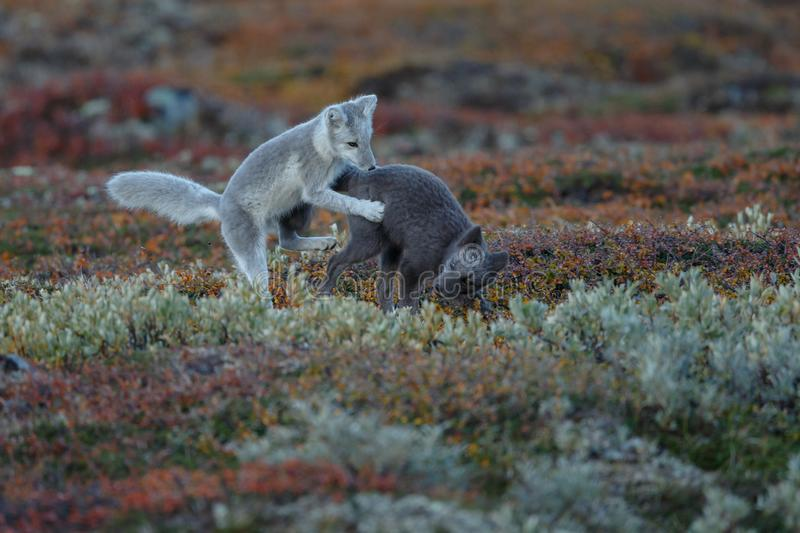 Arctic fox In a autumn landscape royalty free stock images