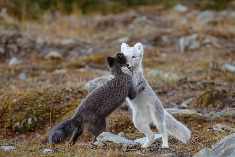 Arctic fox In a autumn landscape stock photos