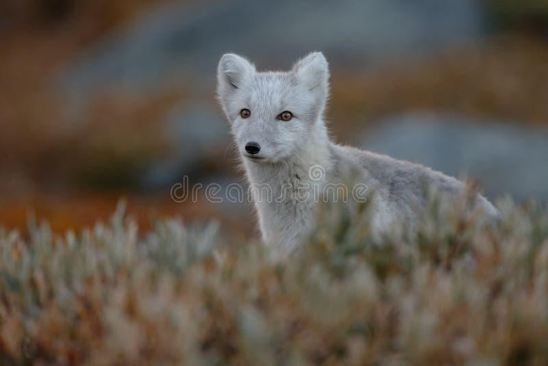 Arctic fox In a autumn landscape stock photo