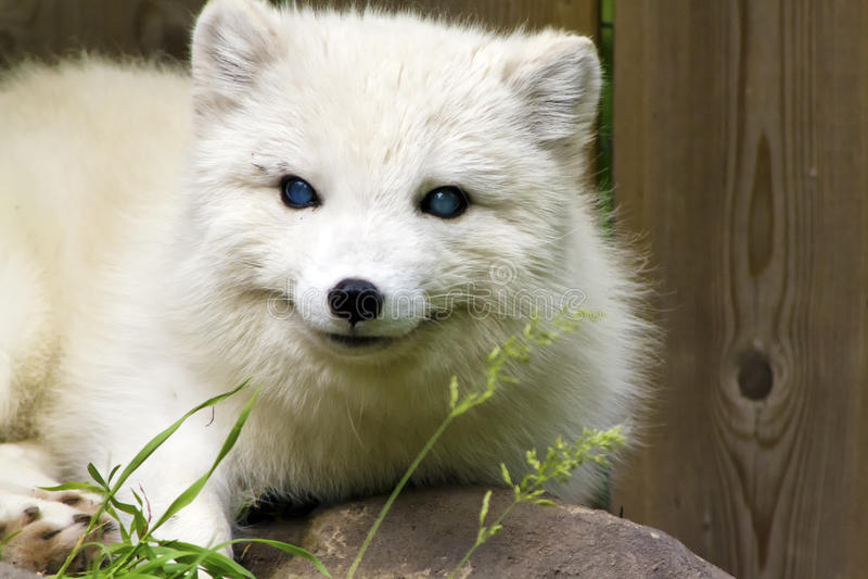 Download Arctic Fox stock photo. Image of arctic, wood, plank - 32019706