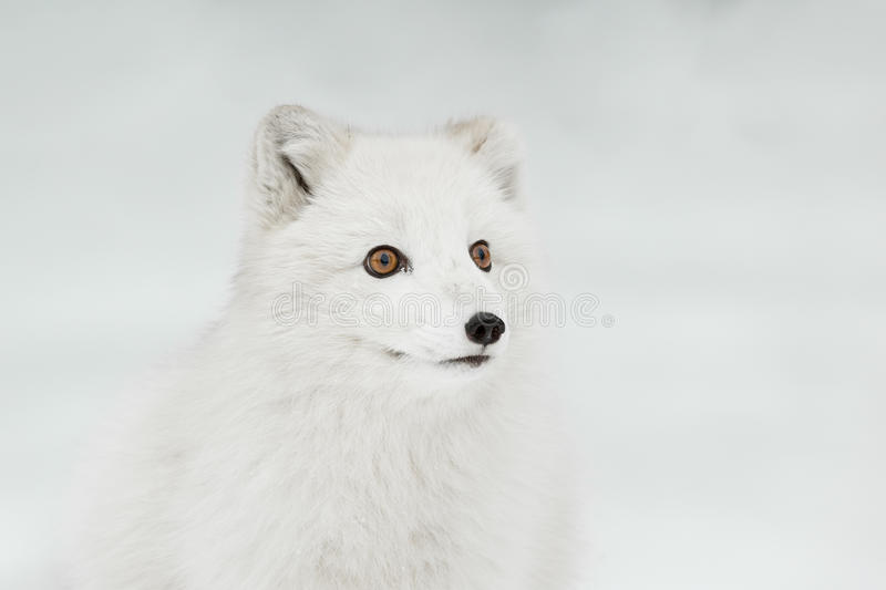 Arctic Fox royalty free stock photo