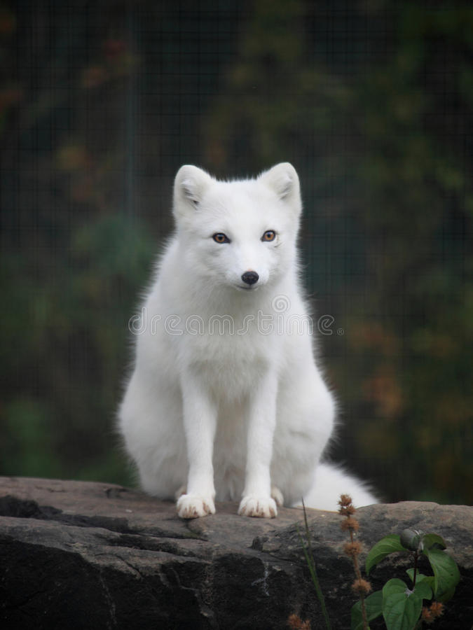 Arctic fox royalty free stock image