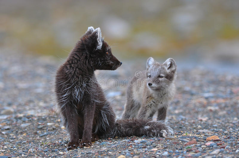 Arctic fox and cub. Arctic fox cub looks hesitantly at it's mother stock images