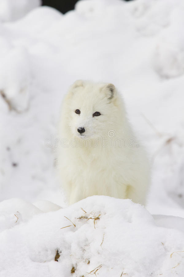 Arctic Fox in deep white snow royalty free stock images