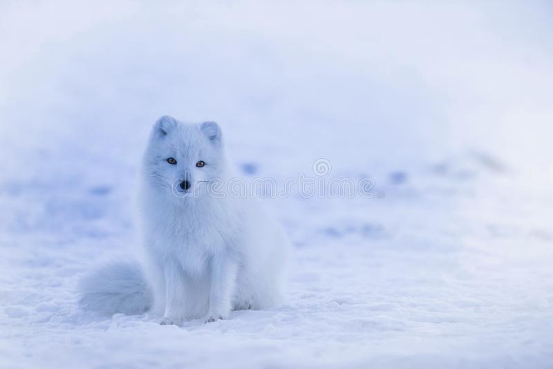 Arctic Fox, Dog Like Mammal, Mammal, Fox royalty free stock images