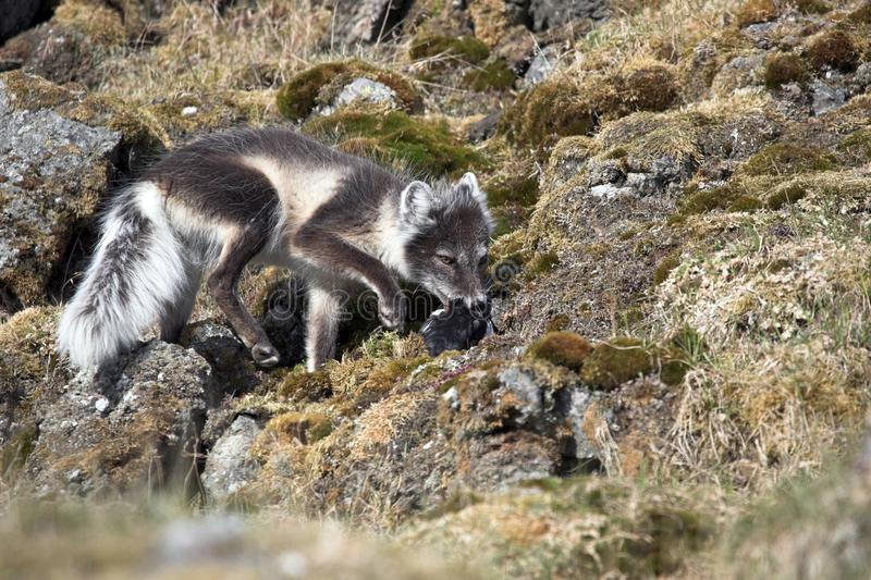 Arctic fox hunting for birds stock image
