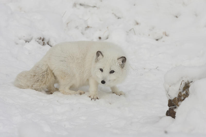 Arctic fox hunting for food on a snow hill with extended claws i royalty free stock photos
