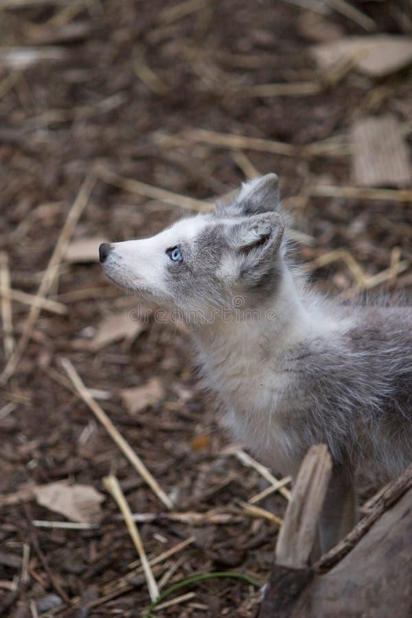Arctic fox looking stock image