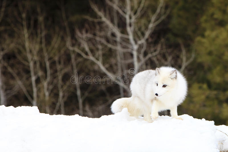 Arctic fox looking for food. In the mountains stock image