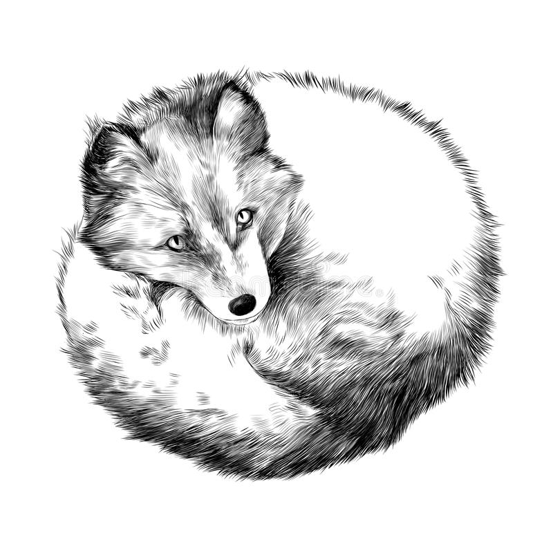 Arctic Fox. Lying on snow sketch vector graphics black and white drawing royalty free illustration