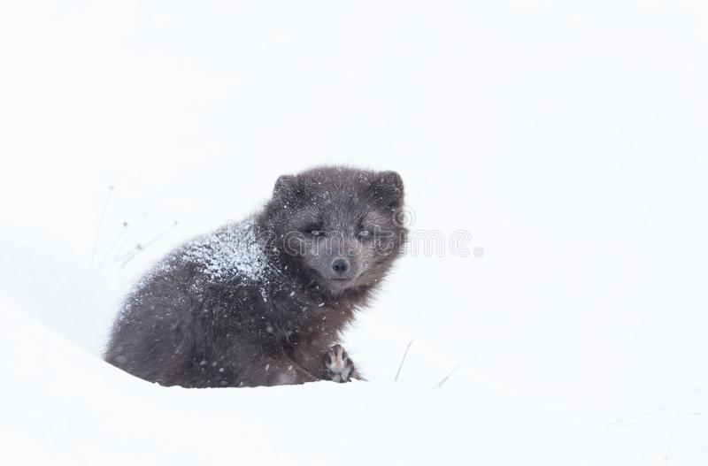 Arctic fox lying on snow in winter. Close up of an Arctic fox lying on snow in winter, Iceland stock images