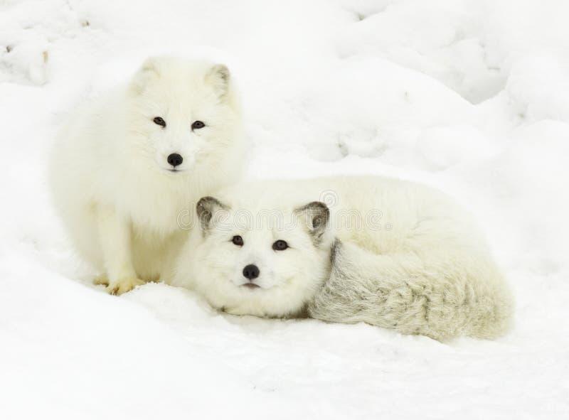 Arctic Fox Pair stock images