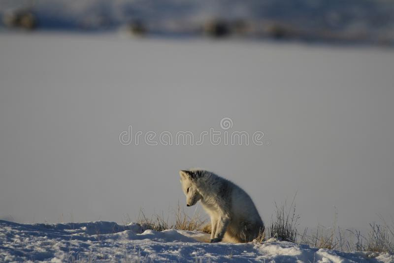 Arctic fox playing and hunting near a den in spring, Cambridge Bay, Nunavut royalty free stock photography