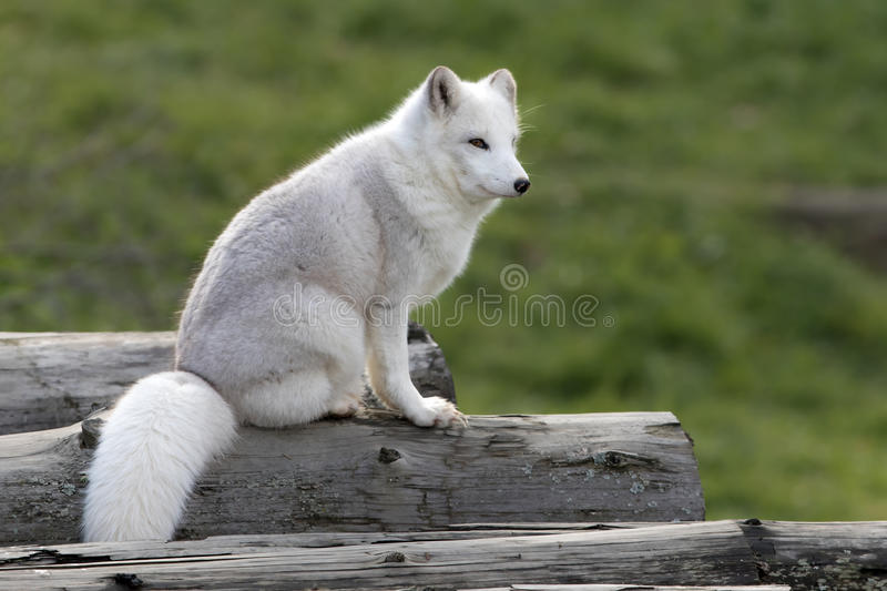 Arctic fox (Vulpes lagopus) sitting on a log in autumn in Canada. Arctic fox (Vulpes lagopus) with winter coat sitting on a log in autumn in royalty free stock image