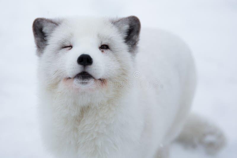 Arctic Fox In The Snow In Norway Stock Photo