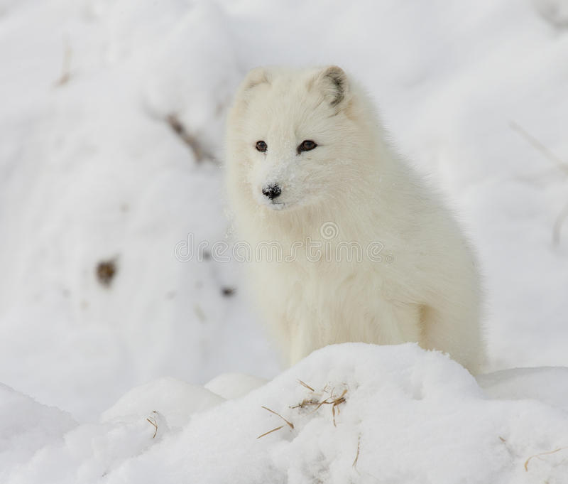 Arctic fox on snowy hill in winter time stock photography