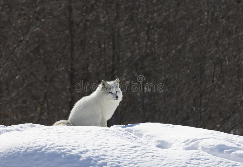 Arctic fox (Vulpes lagopus) standing in the snow in winter in Canada. Arctic fox (Vulpes lagopus) with winter coat standing in the snow in stock image