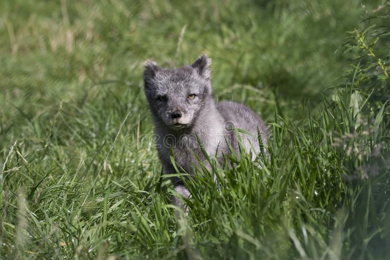 Arctic fox with summer and winter coat, portrait or with grass background. Arctic fox with summer black and winter white coat as portrait or with grass royalty free stock photo