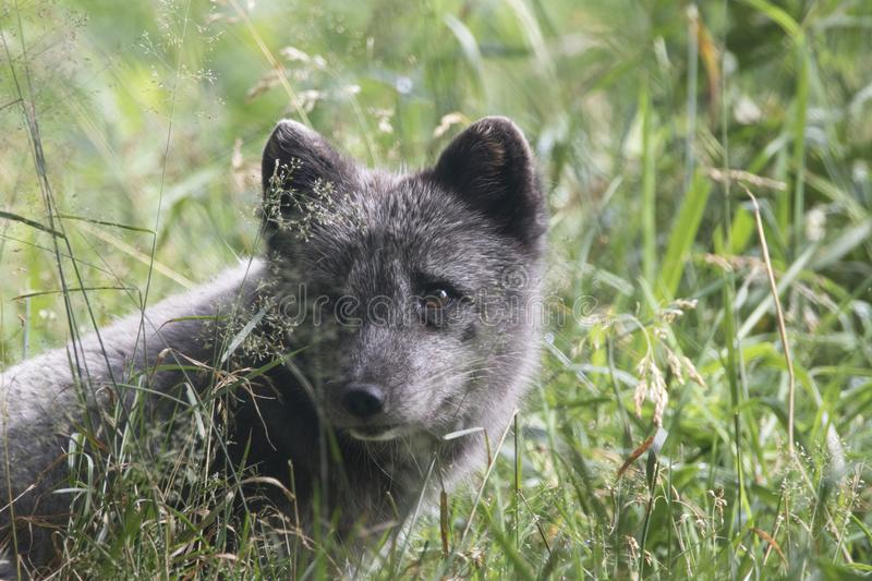 Arctic fox with summer and winter coat, portrait or with grass background. Arctic fox with summer black and winter white coat as portrait or with grass stock images