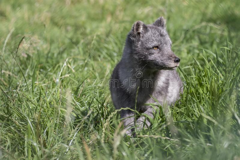 Arctic fox with summer and winter coat, portrait or with grass background. Arctic fox with summer black and winter white coat as portrait or with grass royalty free stock photos
