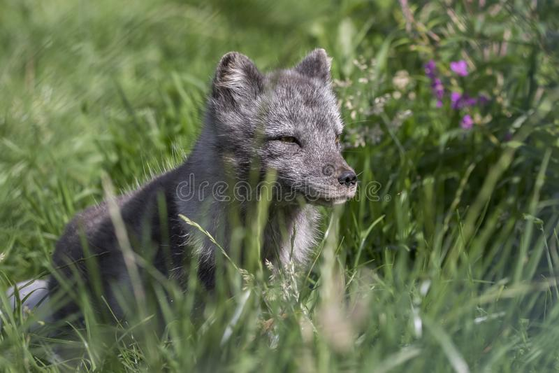 Arctic fox with summer and winter coat, portrait or with grass background. Arctic fox with summer black and winter white coat as portrait or with grass stock image