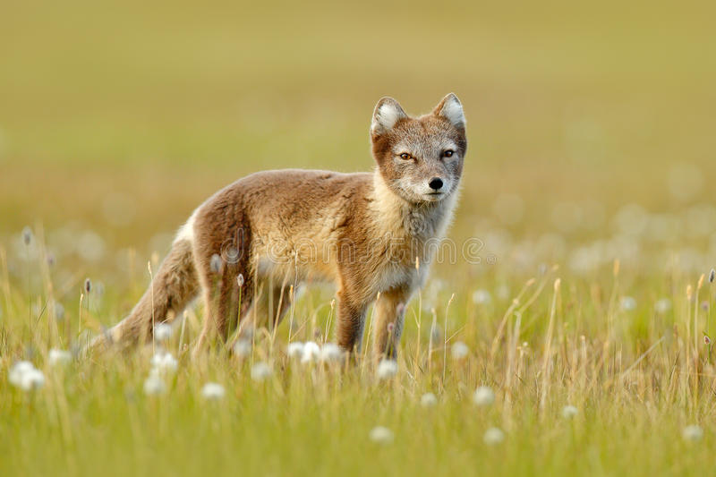 Arctic Fox, Vulpes lagopus, cute animal portrait in the nature habitat, grass meadow with flowers, Svalbard, Norway. Polar fox in royalty free stock image