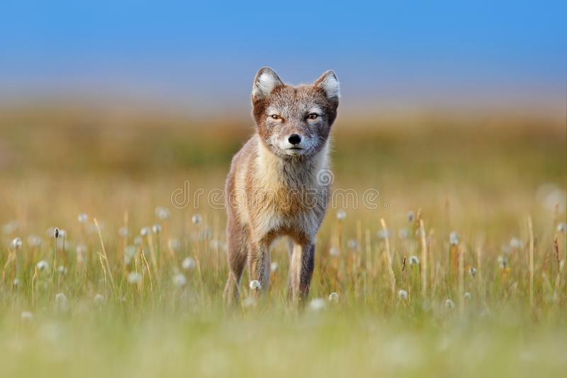 Arctic Fox, Vulpes lagopus, cute animal portrait in the nature habitat, grassy meadow with flowers, Svalbard, Norway. Beautiful. Wild animal in the grass stock images