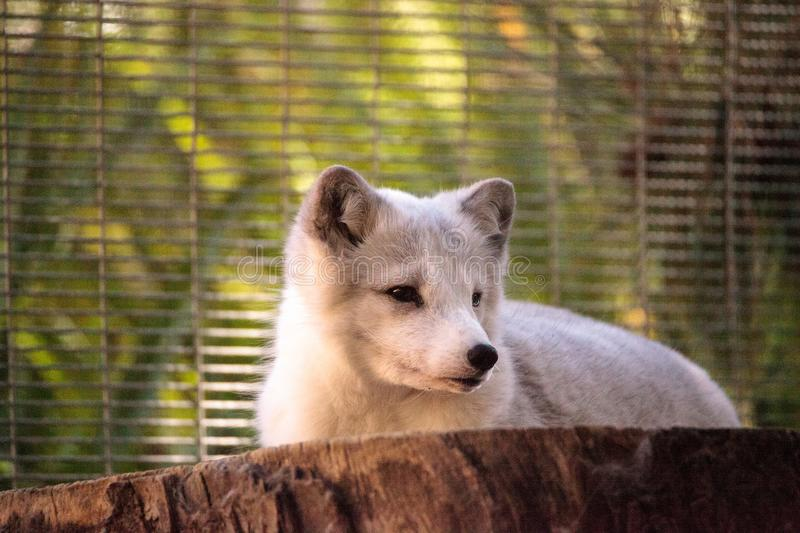 Arctic fox Vulpes lagopus. Has brown fur in the warmer months and white fur in the winter stock images