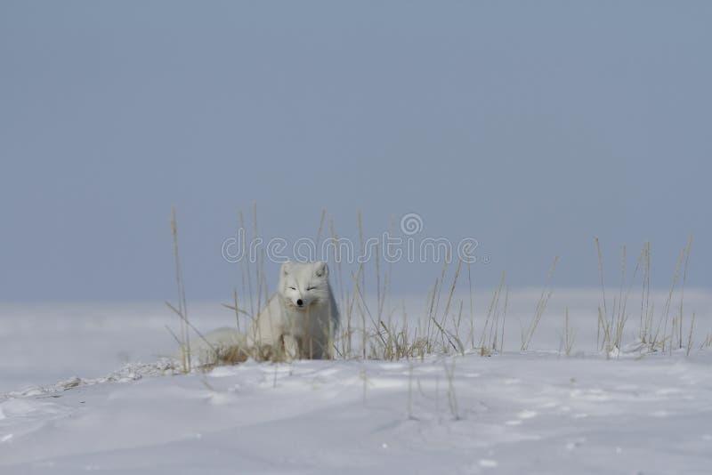 Arctic fox Vulpes Lagopus hiding behind grass, with snow on the ground, near Arviat Nunavut. Canada royalty free stock photo