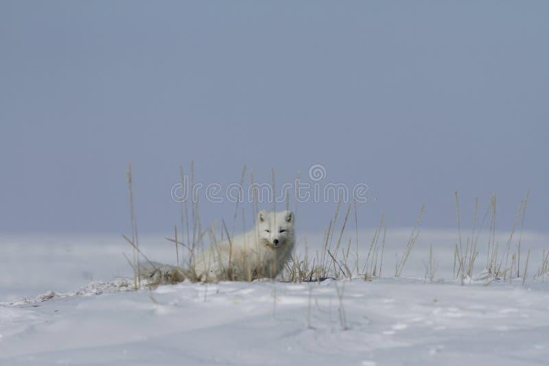 Arctic fox Vulpes Lagopus hiding behind grass, with snow on the ground, near Arviat Nunavut. Canada stock photos