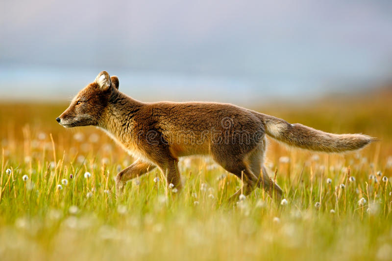 Arctic Fox, Vulpes lagopus, in the nature habitat. Fox in grass meadow with flowers, Svalbard, Norway. Beautiful animal in the. Bloom meadow. Europe stock images