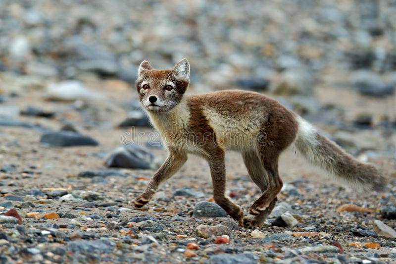 Arctic Fox, Vulpes lagopus, running animal at grey pebble beach, action scene in the nature habitat, , Svalbard, Norway stock images