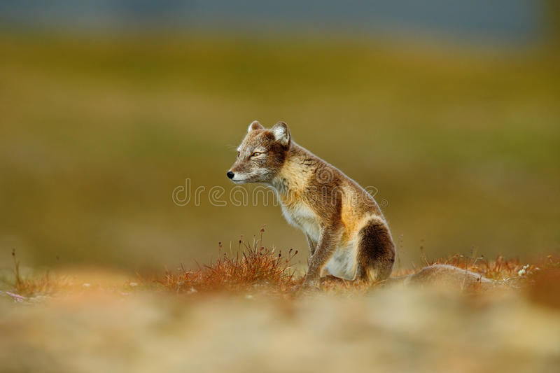 Arctic Fox, Vulpes lagopus, two young, in the nature habitat, grass meadow with flowers, Svalbard, Norway. Wildlife stock images