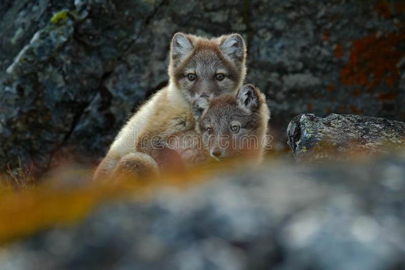 Arctic Fox, Vulpes lagopus, two young, in the nature habitat, grass meadow with flowers, Svalbard, Norway. Wildlife stock image