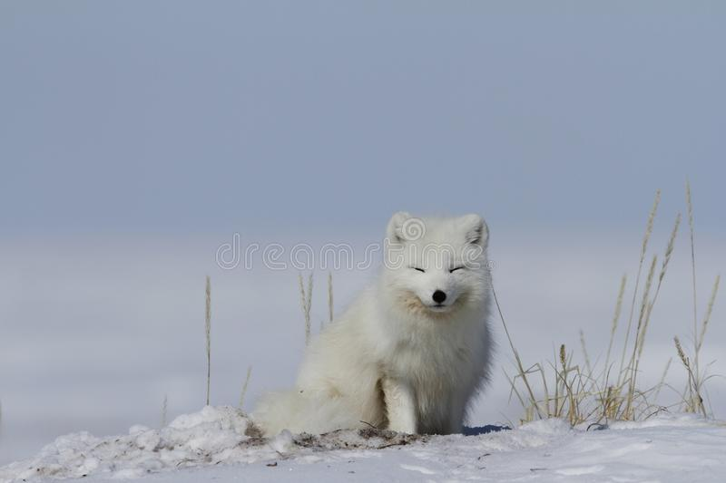 Arctic fox Vulpes Lagopus waking up from a nap with snow on the ground, near Arviat Nunavut. Canada royalty free stock photo