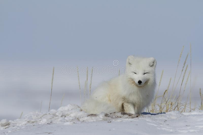 Arctic fox Vulpes Lagopus waking up from a nap with snow on the ground, near Arviat Nunavut. Canada royalty free stock images